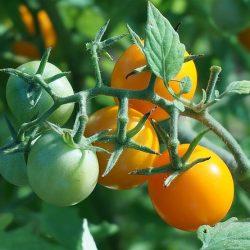 uprawa warzyw